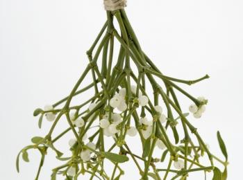 Spotlight on: Mistletoe